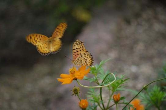 Okayama, Kibiji / Papillons
